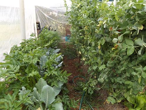 Rows of food plants growing inside a netted garden