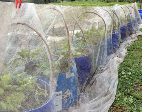 half barrels growing veggies with protective netting
