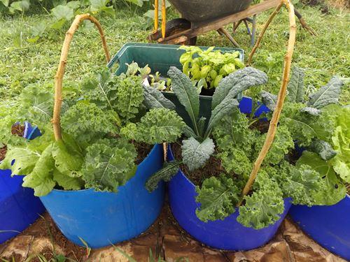 vegetables growing in barrels