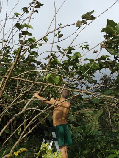 person pruning a mulberry tree