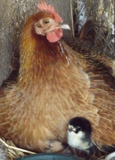 Hen with chick peeping out