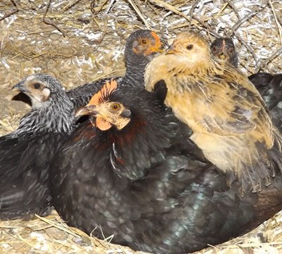 black hen and half grown chicks